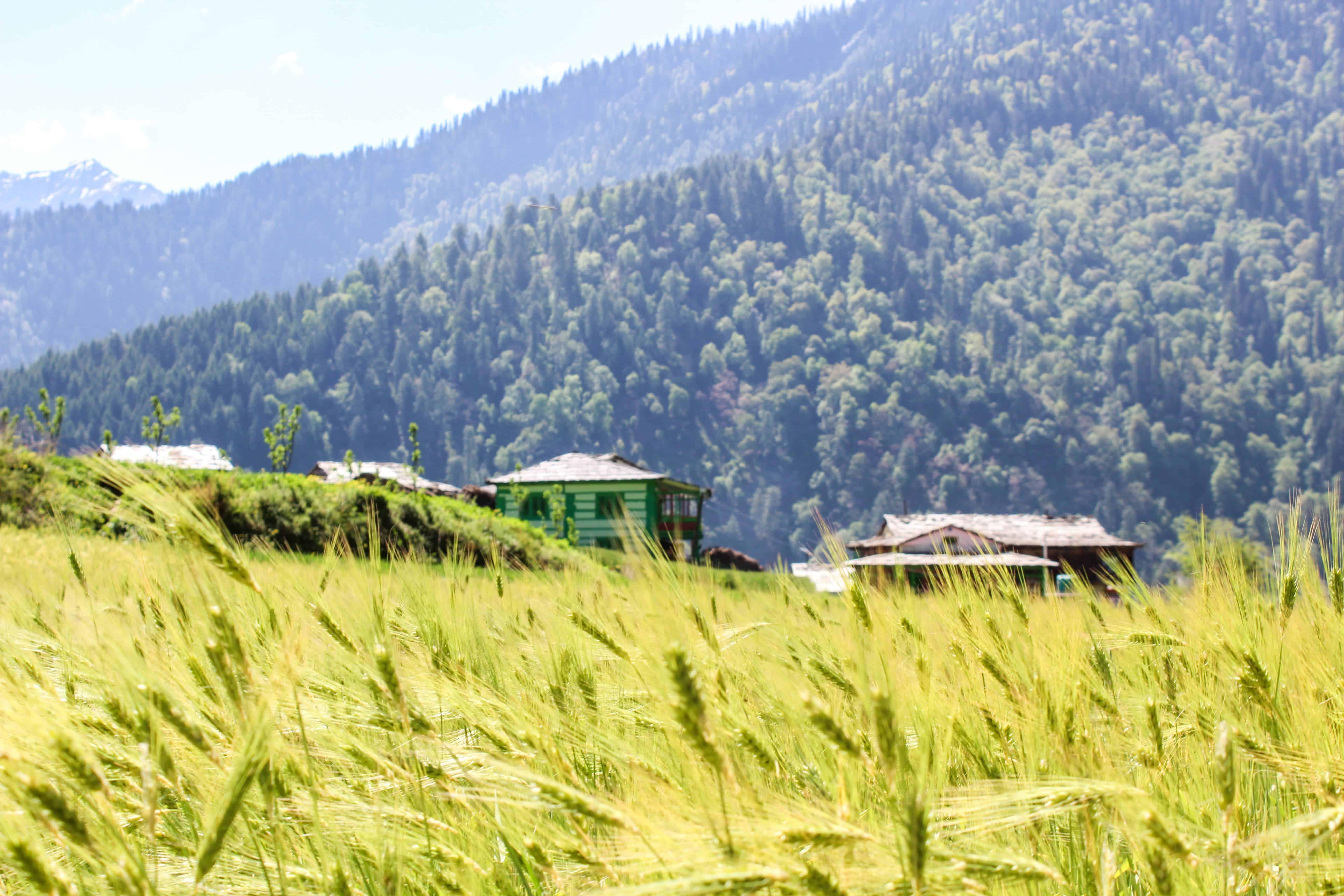 Barley fields in Sainj Valley