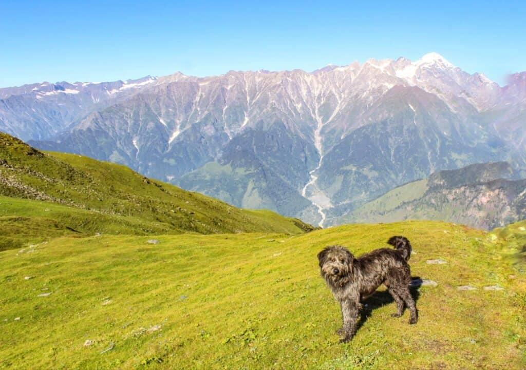 A cute mountain dog