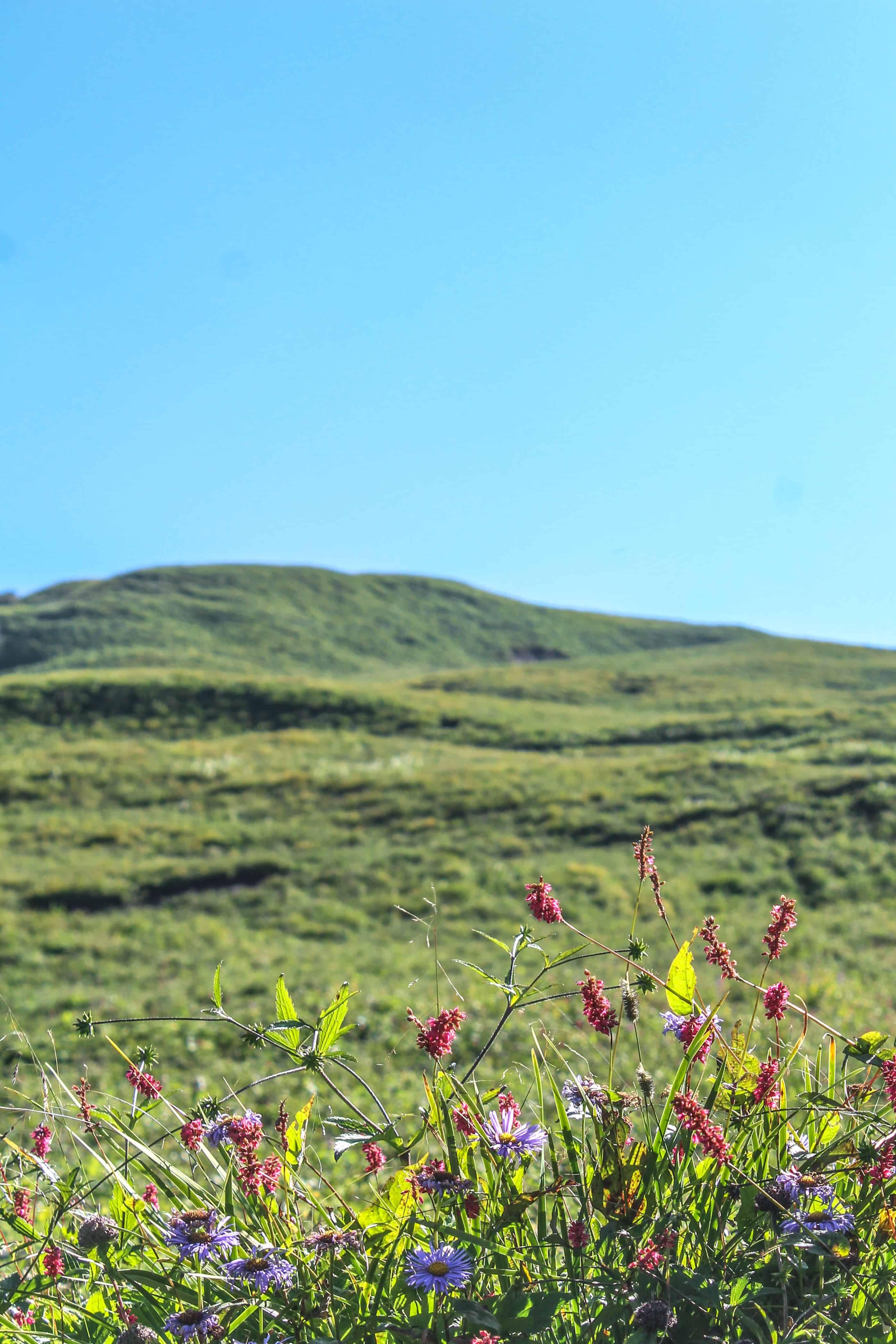 Wildflowers on Bhrigu lake trek