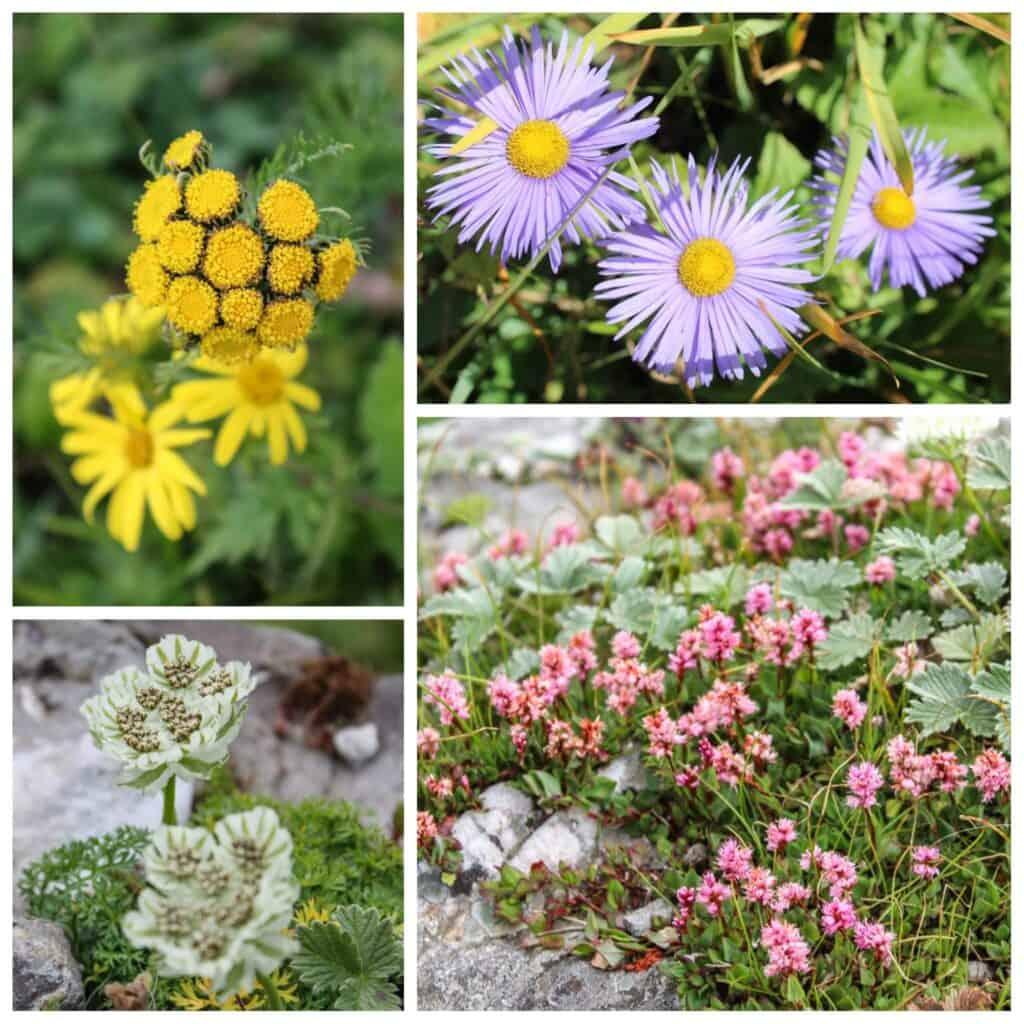 Wildflowers along Bhrigu Lake trek